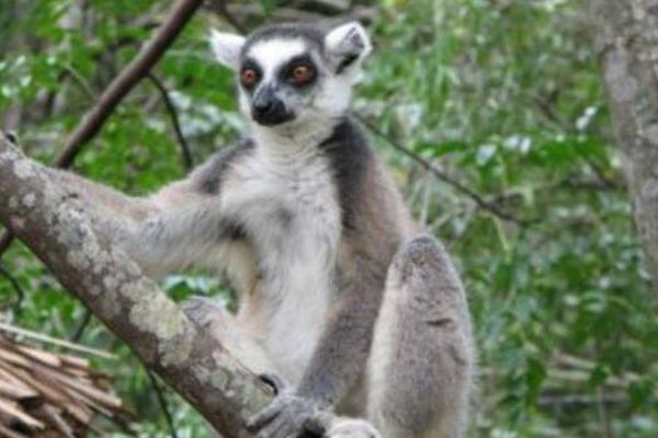 lemurien mada