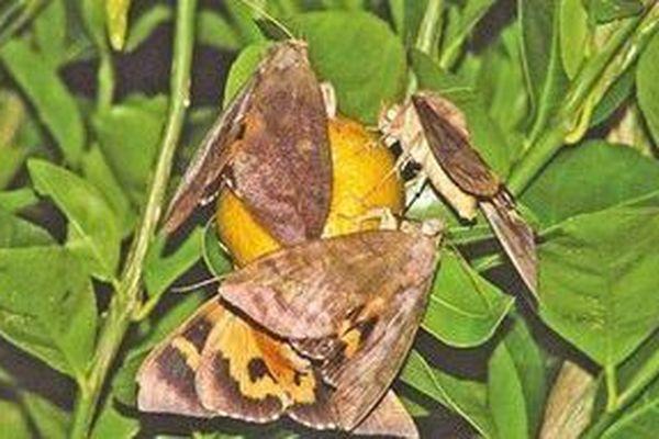 papillon piqueur