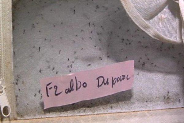 Moustiques stériles