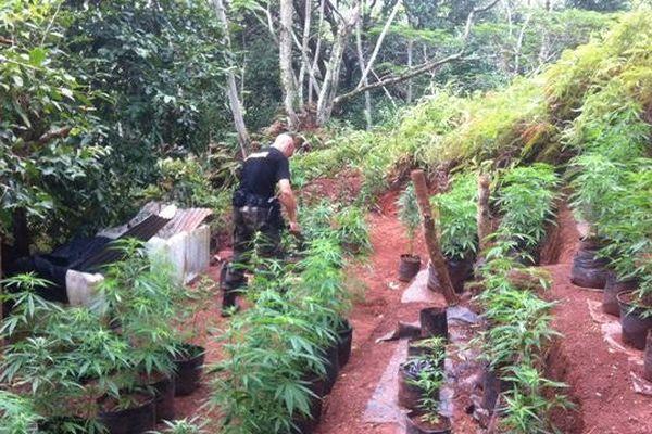 Un champs de cannabis découvert à Raiatea