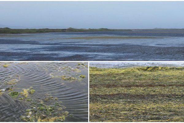 Le Grand Barachois envahi par des algues