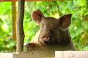Gouvernement: une augmentation de 150 francs cfp par kilo pour venir en aide à la filière porcine