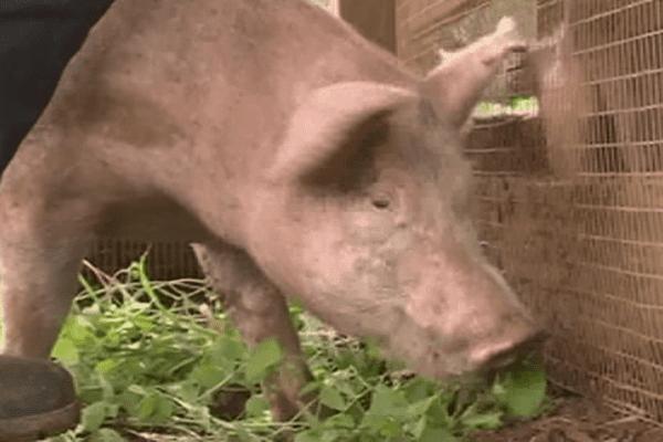 élevage porcin à Maré