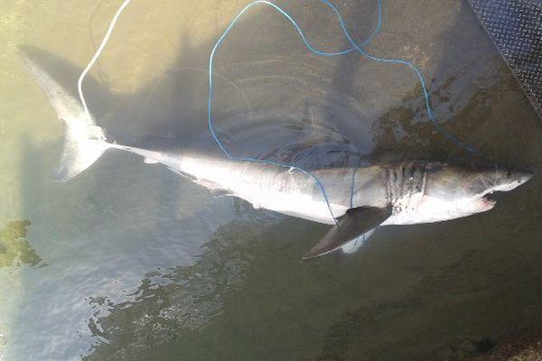 requin blanc capturé baie de Saint-Paul