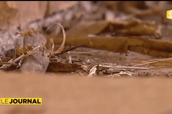 fourmis folles