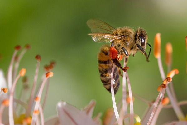 Les abeilles victimes des campagnes de démoustication