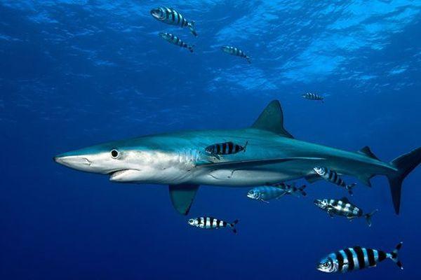 Requin-taupe bleu