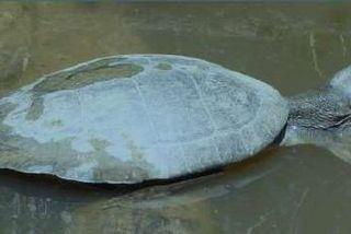 La tortue Pocdonémide de Guyane