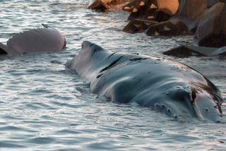 Baleine juvénile échouée