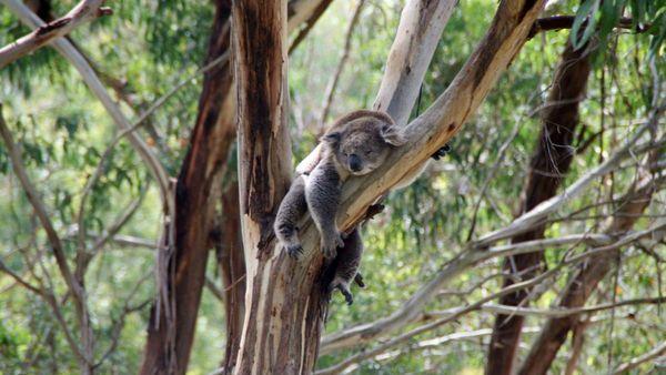 Koala dans Eucalyptus