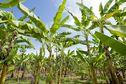 Plan Chlordécone IV : 92 millions d'euros alloués pour lutter contre les effets de la contamination du pesticide