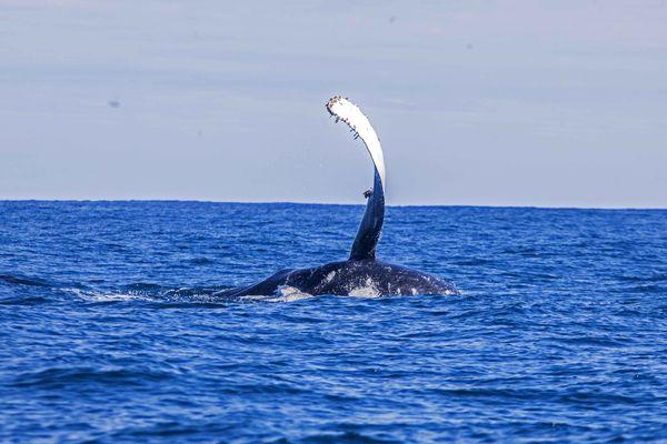 Baleine Vairao 7