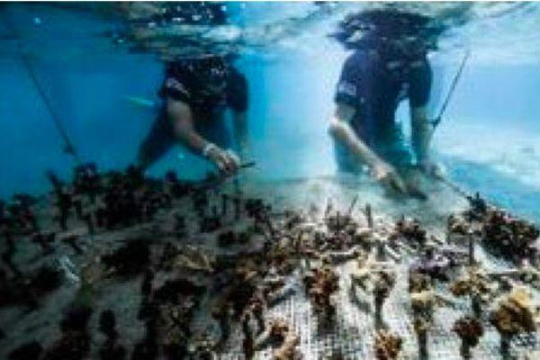 Bouturage de coraux en Polynésie française