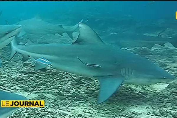 Attaques de Requins : pourquoi la Polynésie est-elle épargnée ?