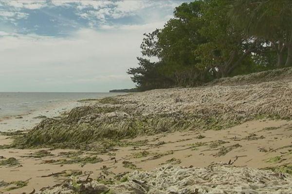 La marée verte à Poe Beach en janvier 2018