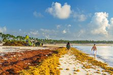 Les algues sargasses s'amoncellent sur le littoral
