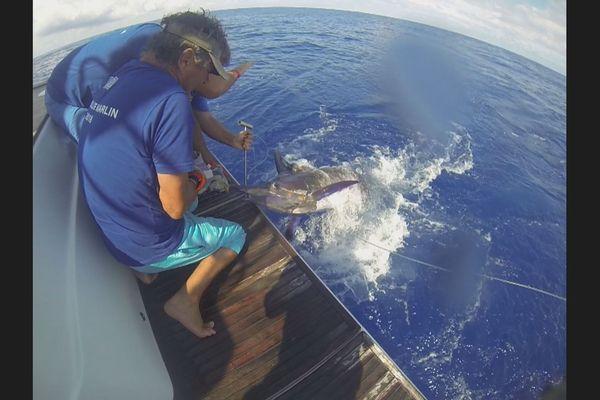 prise de marlin lors de l'Open blue marlin
