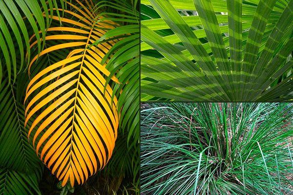 Palmiers et Vétiver