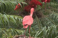 Flamant rose au zoo du Carbet.
