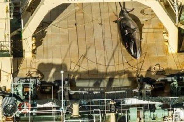 Chasse à la baleine : l'Australie gronde le Japon, mais ne tape pas du poing sur la table