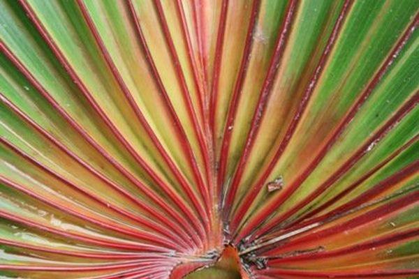Détail d'un feuille palmée rouge: Latania lontaroides