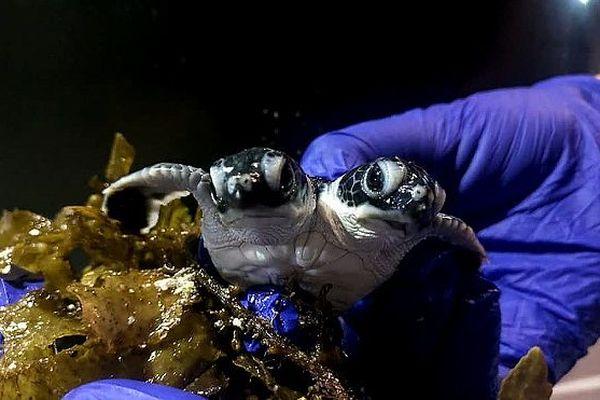 Une tortue à deux têtes est née en Malaisie