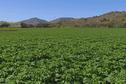 Bactérie Ralstonia: alerte sur les pommes de terre calédoniennes