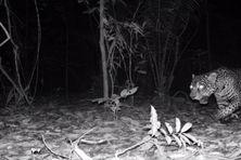 Un jaguar pénétrant dans une ferme la nuit