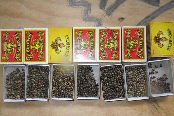 1777 graines de cannabis contenues dans des boites d'allumettes