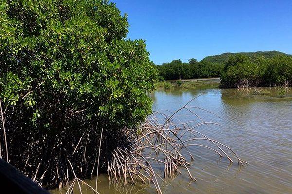 Mangrove (Martinique)