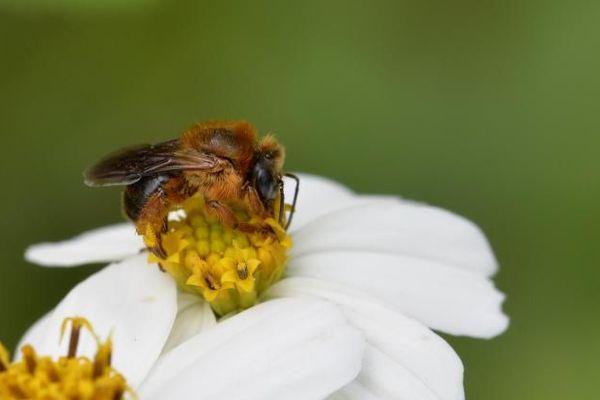 abeilles mélipones