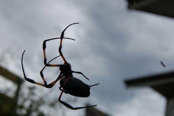 Araignée Bibe la Réunion