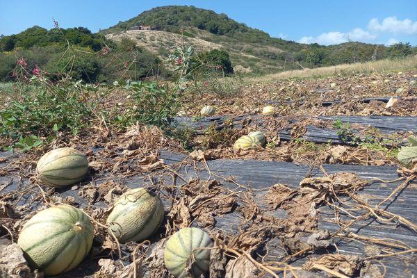 Plantation de melons