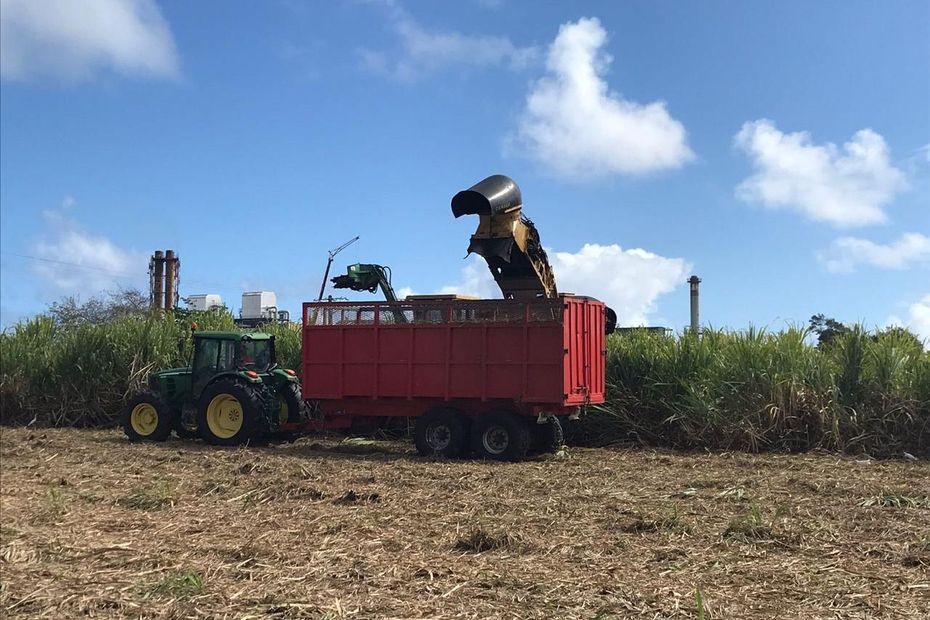 Lancement de la récolte de la canne en Guadeloupe - Guadeloupe la 1ère