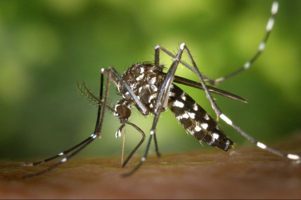 Moustique Aedes aegypti Dengue