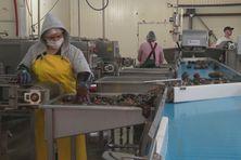 1700 tonnes de concombres de mer seront traités pour cette saison