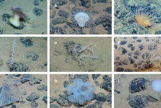 Biodiversité dans les champs de nodules polynétalliques