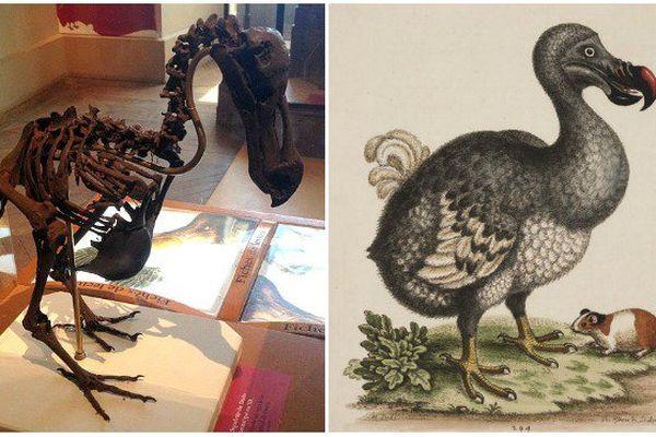Un squelette de dodo vendu 400 000 euros