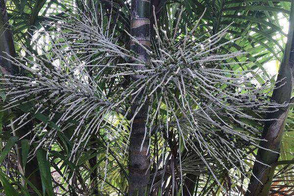 Le wassay, pinot ou le palmier Euterpe oleracea