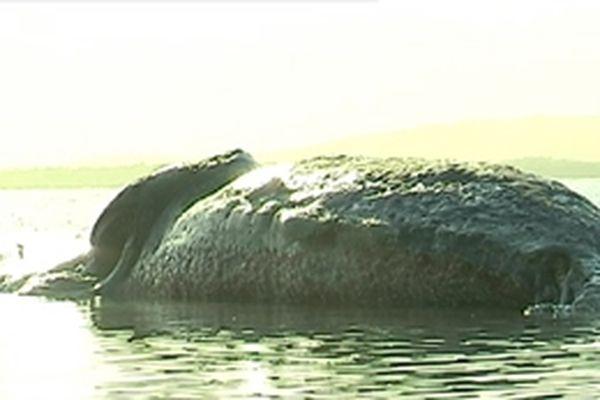 Cachalot échoué, baie de Poya