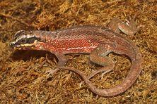 Leiocephalus personatus (Iguane à queue courbée)