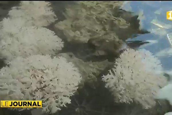 Les intempéries stressent le corail