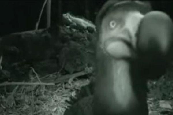 dodo filmé à la Réunion capture d'écran youtube