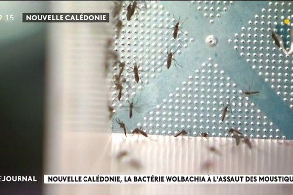Des moustiques pour lutter contre la dengue