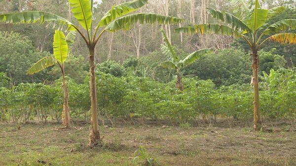 Ouégoa bananiers