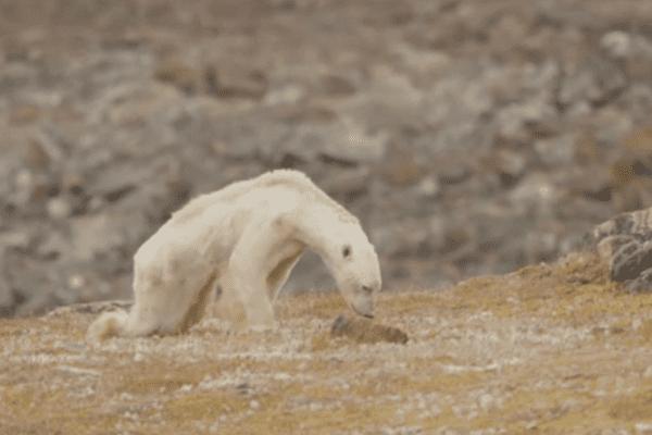 Un ours polaire à l'agonie devient un symbole du changement climatique