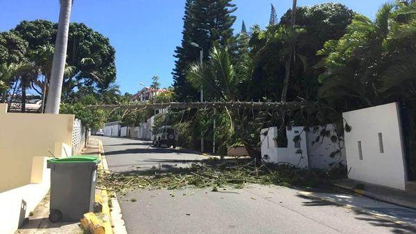 Chute de pin colonnaire à Nouméa, rue Dame Lechanteur