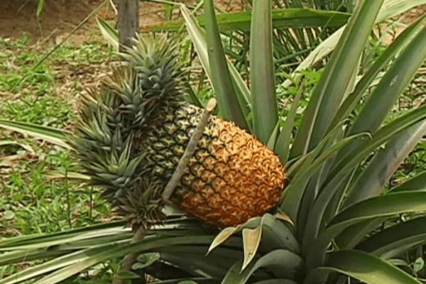 Ananas 9 têtes