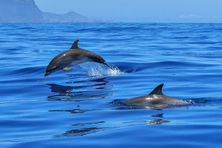 Dauphins, principaux mammifères marins en mer de la Caraïbe.