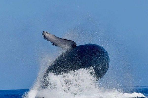 baleine à bosse au large de pierrefonds le 280820